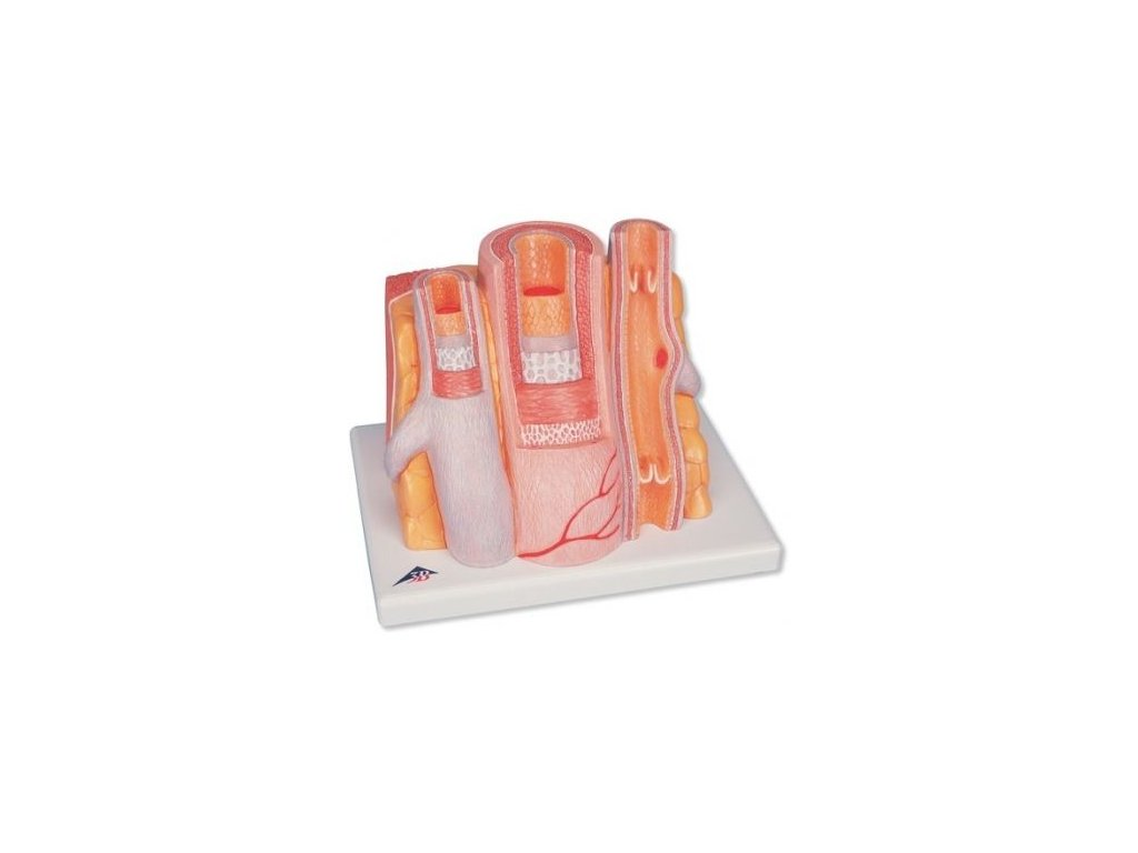 3B MICROanatomy model tepny a žíly