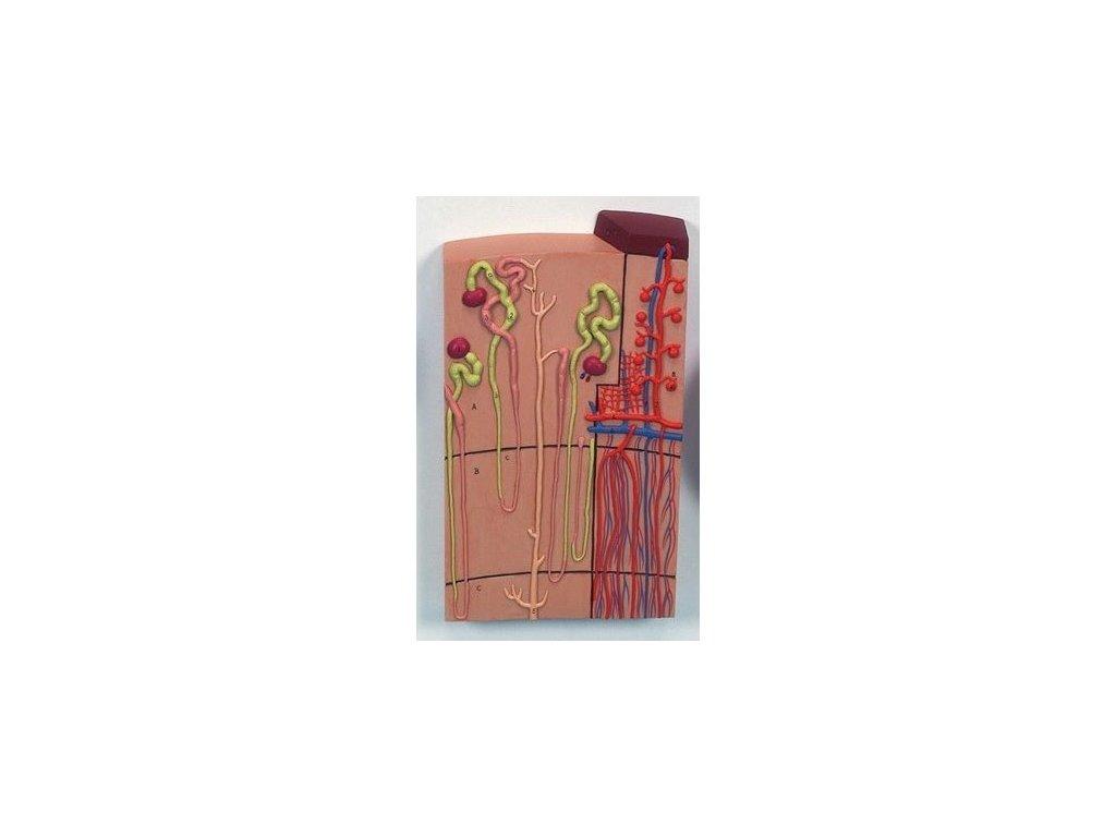Model nefronů a cév, 120 krát zvětšený