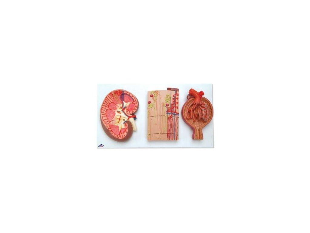 Průřez ledvinou, nefrony, cévy a ledvinové tělísko