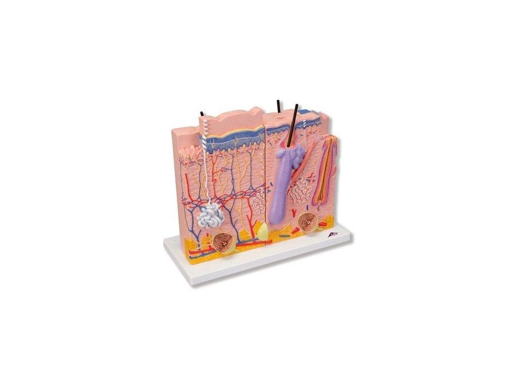 Model kůže, 3 části