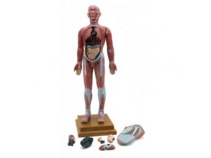 Model lidského svalové ústrojí