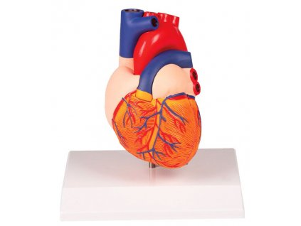 Model srdce v životní velikosti, 2 části