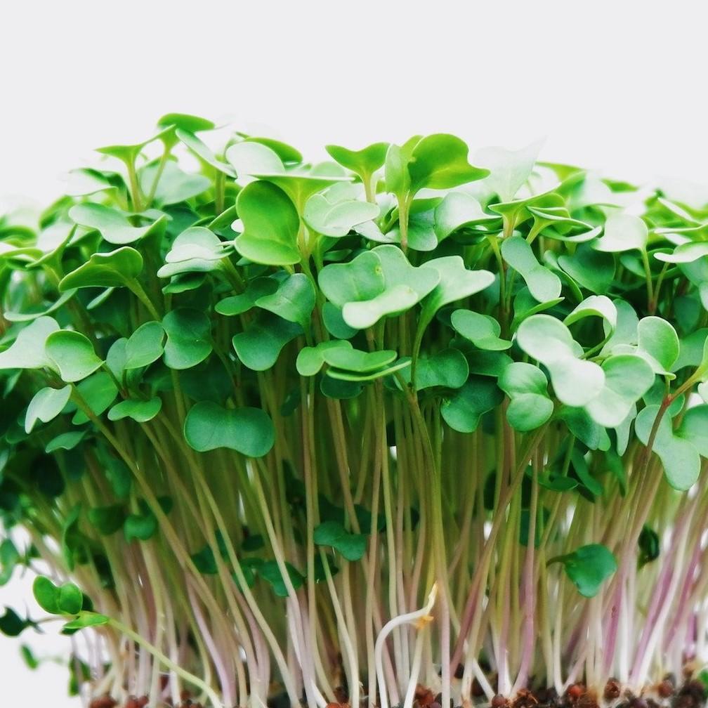 Vojtěška (lucerna setá) - semínka na klíčení 20 g