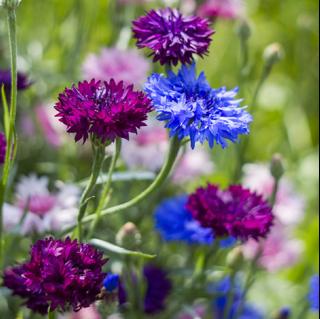 Obsah obrázku květina, rostlina, kytice, fialová  Popis byl vytvořen automaticky