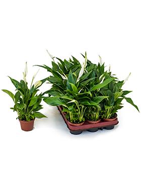 Seznam doporučených rostlin pro interiéry