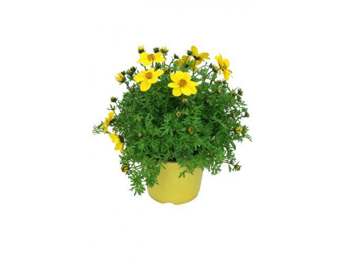 Bidens ferulifolia low