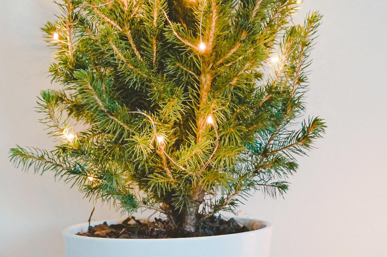 Jaký vánoční stromeček je skutečně zelený?