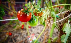rajčata2