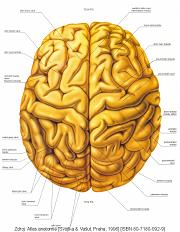 Bylinky na kognitivní funkce