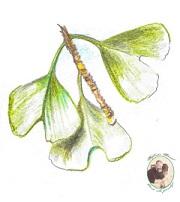 Jinan dvoulaločný-ginkgo biloba