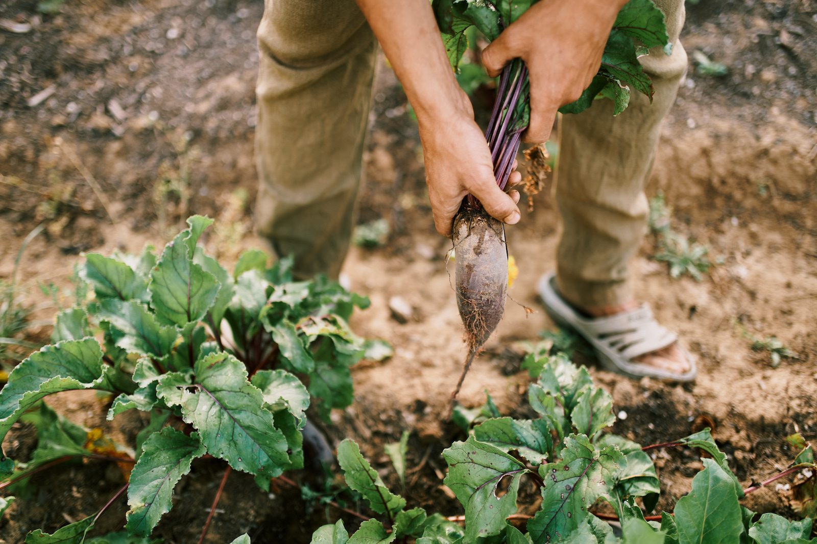 Zdravá a chutná repa od našich lokálnych farmárov