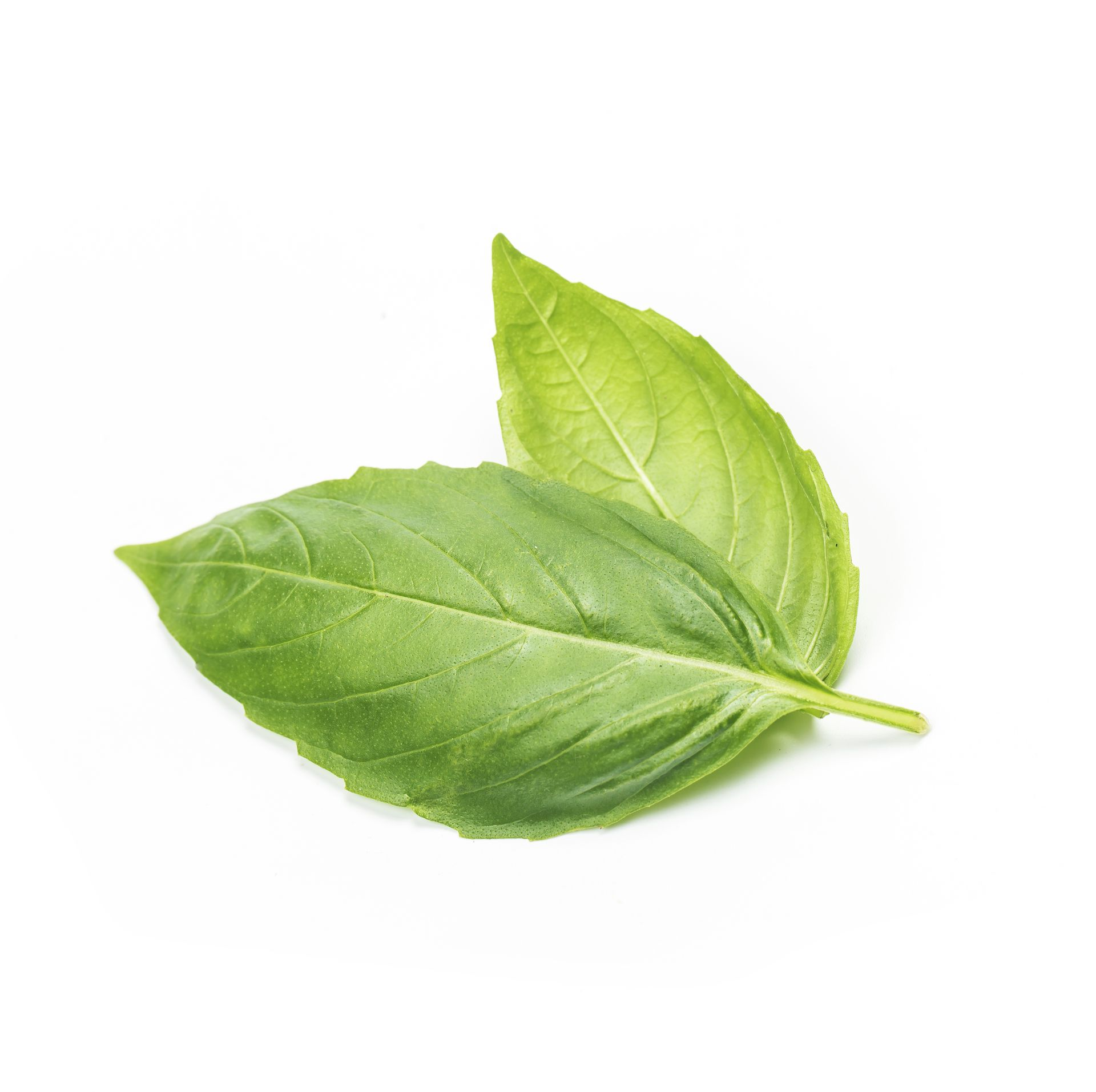 close-up-studio-shot-fresh-green-basil-herb-leaves-isolated-white-background-sweet-genovese-basil