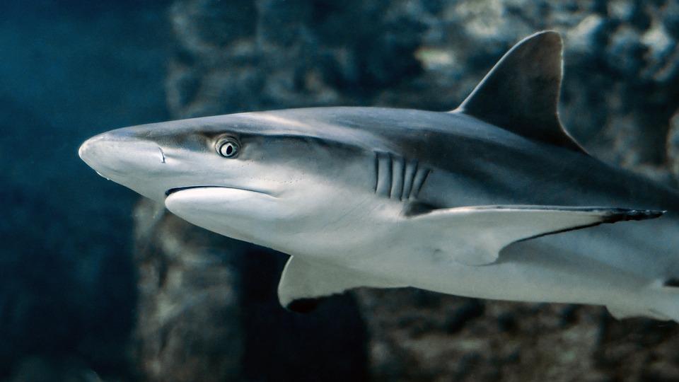 Žralok na Jadranu děsí turisty