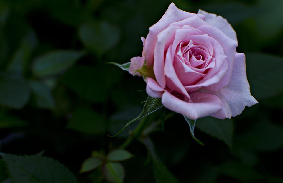 Pre milovníkov RUŽE