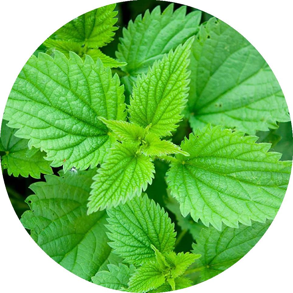 Bylinka Žihľava dvojdomá - YONI (vaginálne) naparovanie liečivými bylinkami - Magické LONO
