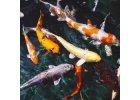 Krmivo okrasných ryb, KOI