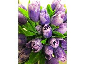 tulipán fialovo růžový