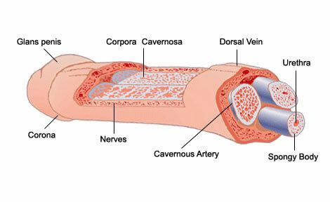 anatomia-penis