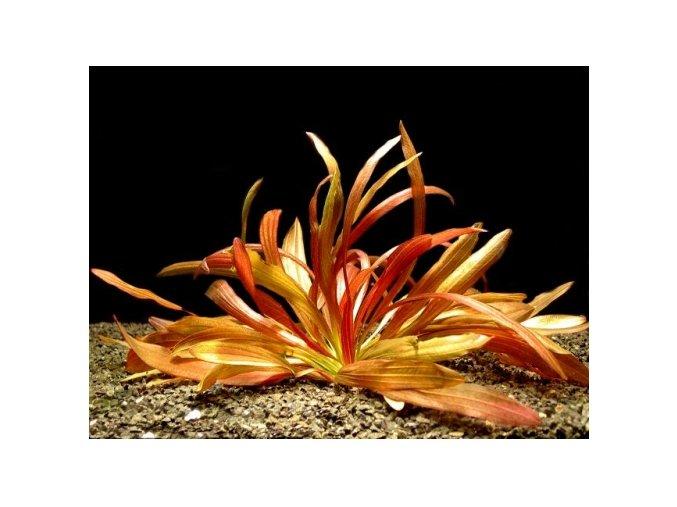 Echinodorus Rubin narrow leaf