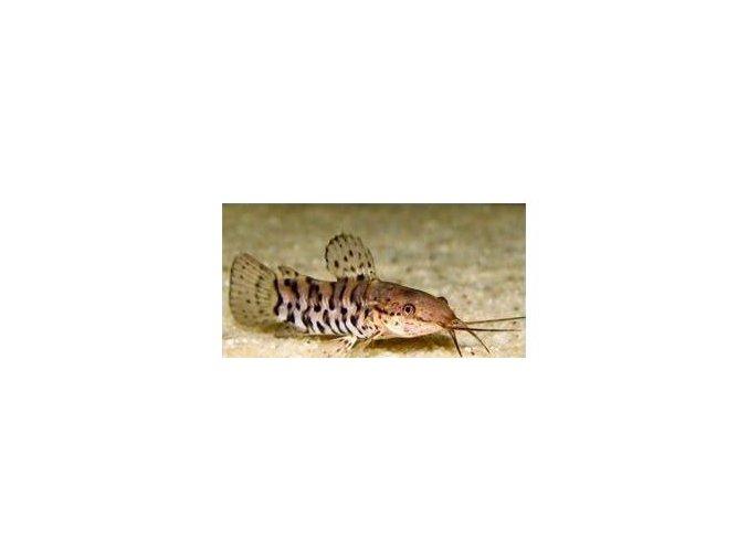 Pancéřníček kropenatý