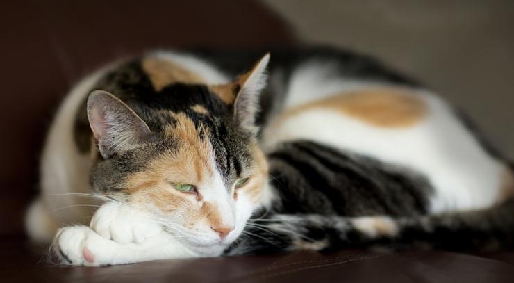 Víte v čem jsou tříbarevné kočky jedinečné?